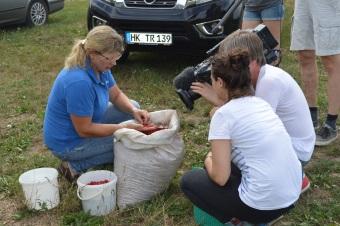 Ernte der Ginsengbeeren bei FloraFarm GInseng