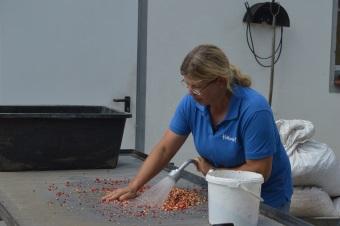 Weiterverarbeitung der Ginsengsaat