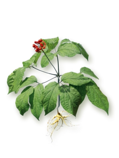 the ginseng plant panax ginseng c a meyer from florafarm. Black Bedroom Furniture Sets. Home Design Ideas